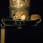 nocturnal flying squirrel